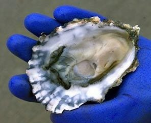 Oysters contaminated with norovirus hospitalize 1, sicken 17 in northeast