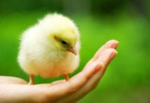 Salmonella and Chicken: Salmonellosis is Caused by Ingestion of Salmonella Bacteria