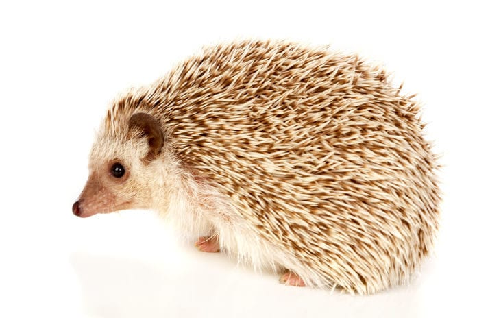Touching a Hedgehog Could Result in Bacterial Disease Report Says