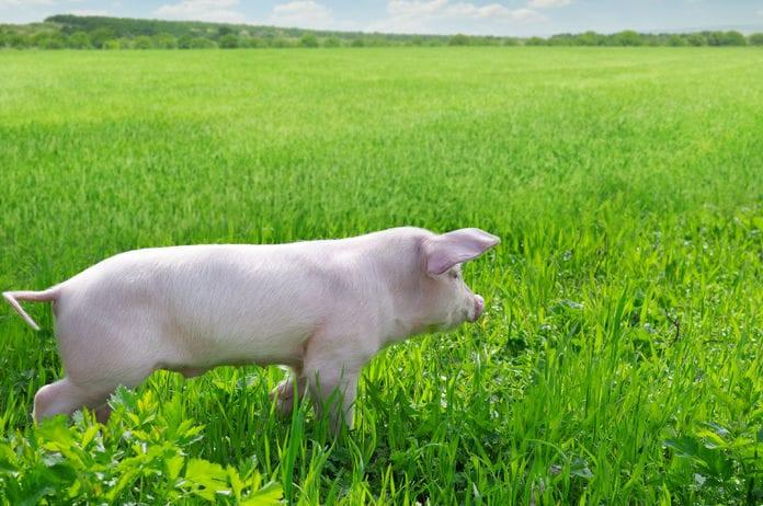 Chinese pig Disease