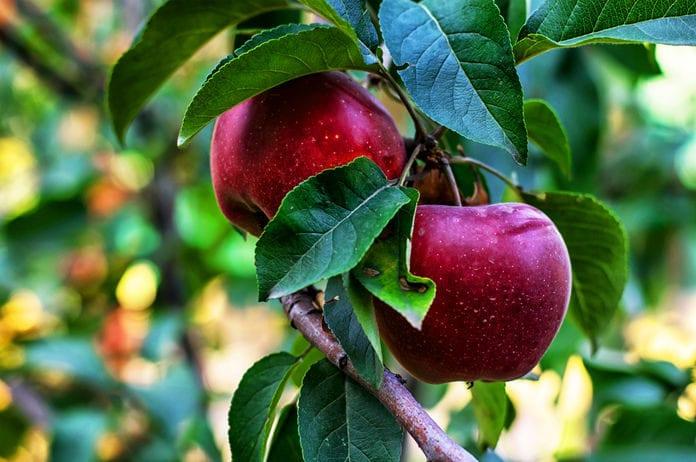 FDA Announces Voluntary Recall on Michigan Fresh Apples for Listeria Contamination