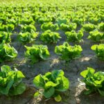 Fresh Attitude Baby Spinach is being recalled by Vegpro International of Sherrington, Quebec, Canada, due to potential Salmonella contamination.